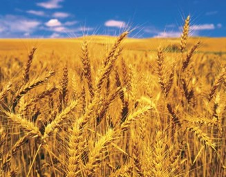 photo of wheat growing