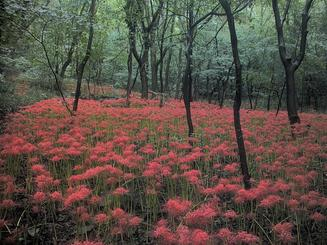 photo of uncultivated red spider lilies in a forest