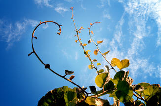 True Vine, a picture by Anthrovik, Flickr Creative Commons