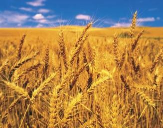 photo of wheat growing